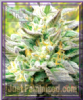 Emerald Triangle Blueberry Headband Fem 5 Seeds